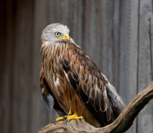 Das Jahr des Rotmilans – Charaktervogel der Rhön Foto